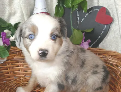Foxey Lace blue merle female 2