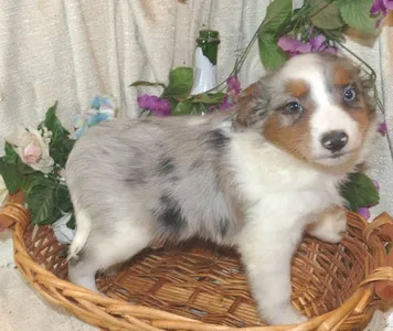 twilights Blue merle male 2 with TAIL
